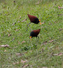 Pair of Northern Jacana foraging on the lawn.