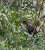 Crested Guan.