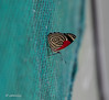 This marvelous butterfly was perched on the screen of my safari tent at Rafiki Lodge.  Not to be resisted.  It will take me a while to identify.  Help?