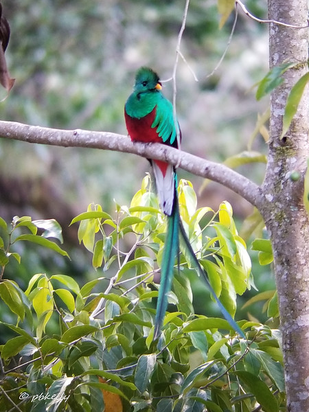 The Resplendent Quetzal.  Magnificent bird, and cute, too.  This was a phone shot through a scope set up by our leader.