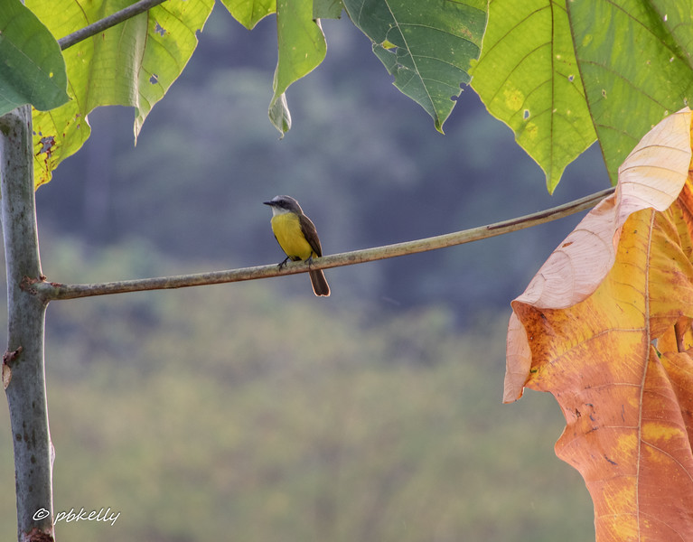 Grey-capped Flycatcher posing quietly.