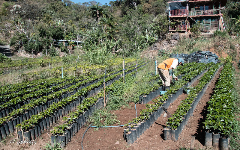 Nursery for coffee plants along the road to San Gerardo.