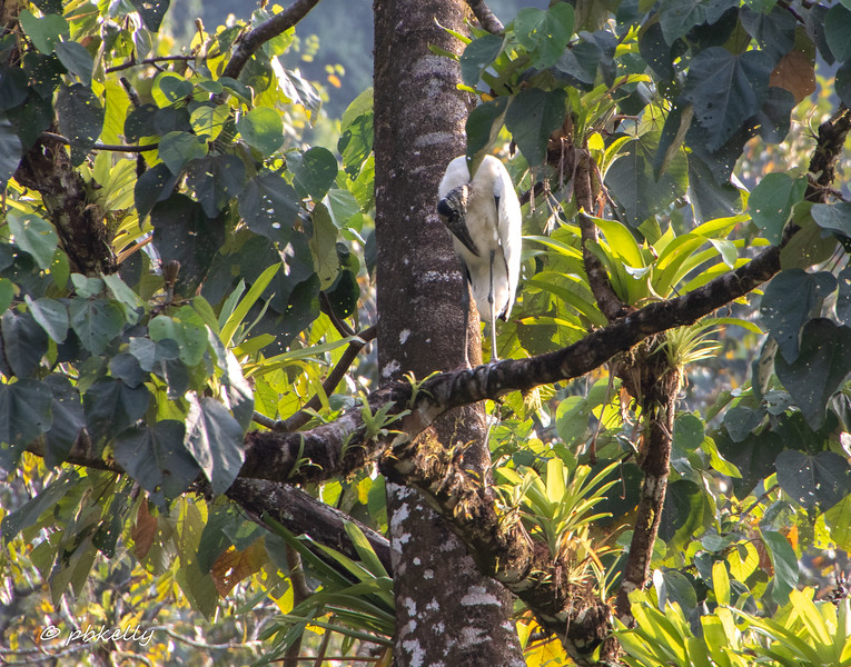 Wood Stork in a tree.
