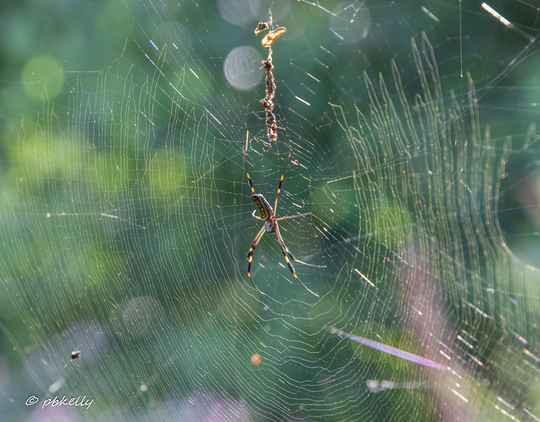 You know I love Spiders.  This is a Golden Orb-Weaver.