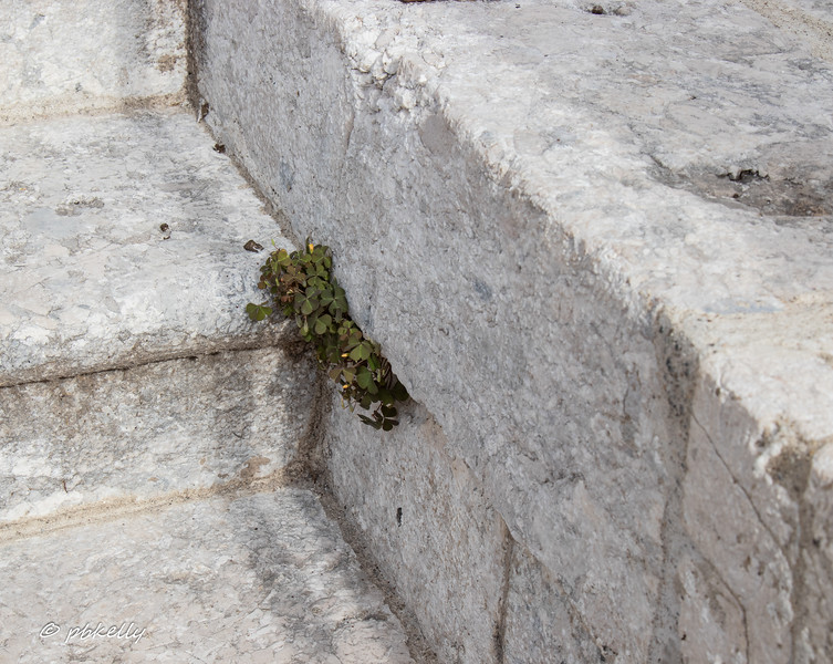 Oxalis growing out of the church stairs.