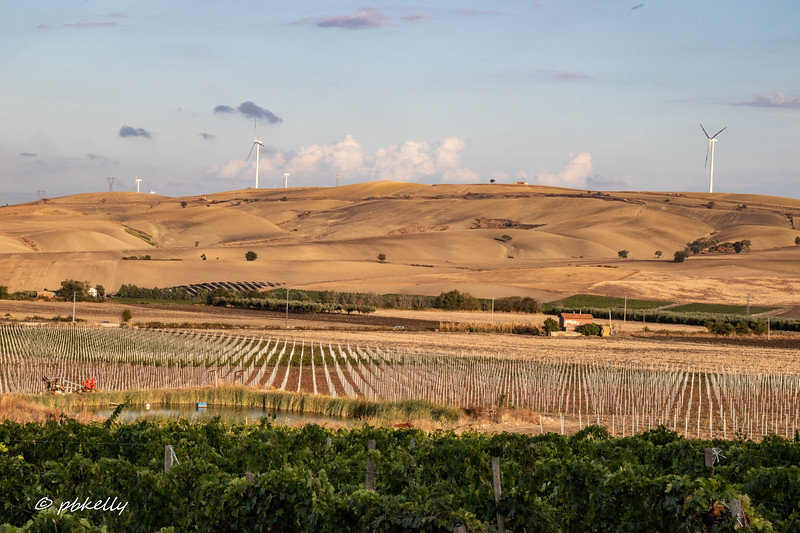 Mature vines in the foreground, new plantings in the midground.