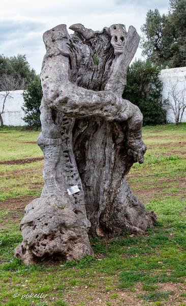 Olive tree embrace.