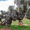 Olive trees live for millennia.  This one is supposed  to be over 1000 years old.  Needs a little support.