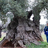 Old olive trees, which can be up to 2  thousand years old (!) grow into some fantastic shapes.