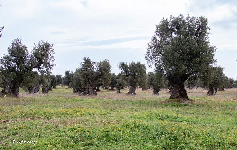 Olive trees at the Masseria Brancati.  A masseria was a fortified farm.  Some have been in operation since before the Romans.