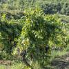 Grapes on Villagrande.