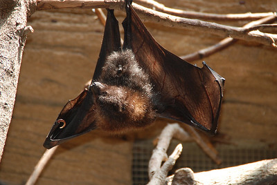 Who said bats were small?? This guy was 2' across?