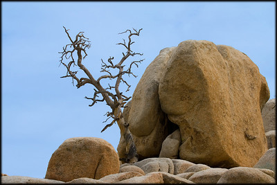Dead tree and split boulder in Joshua Tree National Park.