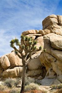 Joshua tree and rocks.