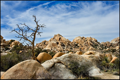 Dead tree and landscape in Joshua Tree National Park.