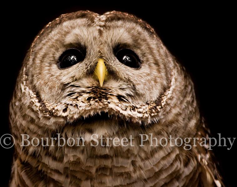 Barred Owl from the Bird-of-Prey Program.