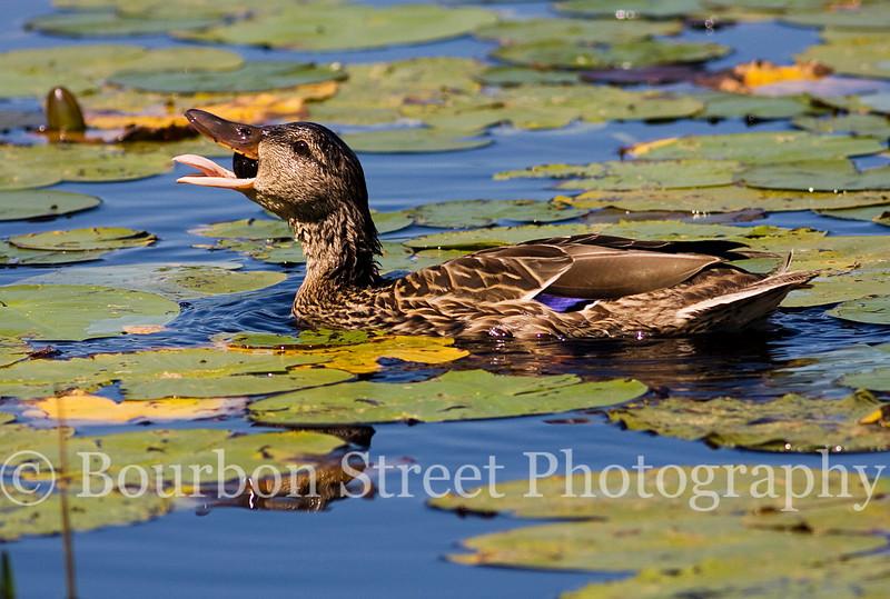 Duck At Paul Smoths VIC