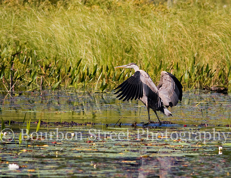 Great Blue Heron at Paul Smiths VIC