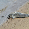 Seal on the Bay <br /> Provincetown, Ma