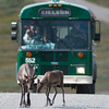 Caribou cross the road in front of a shuttle bus inside Denali National Park and Preserve.