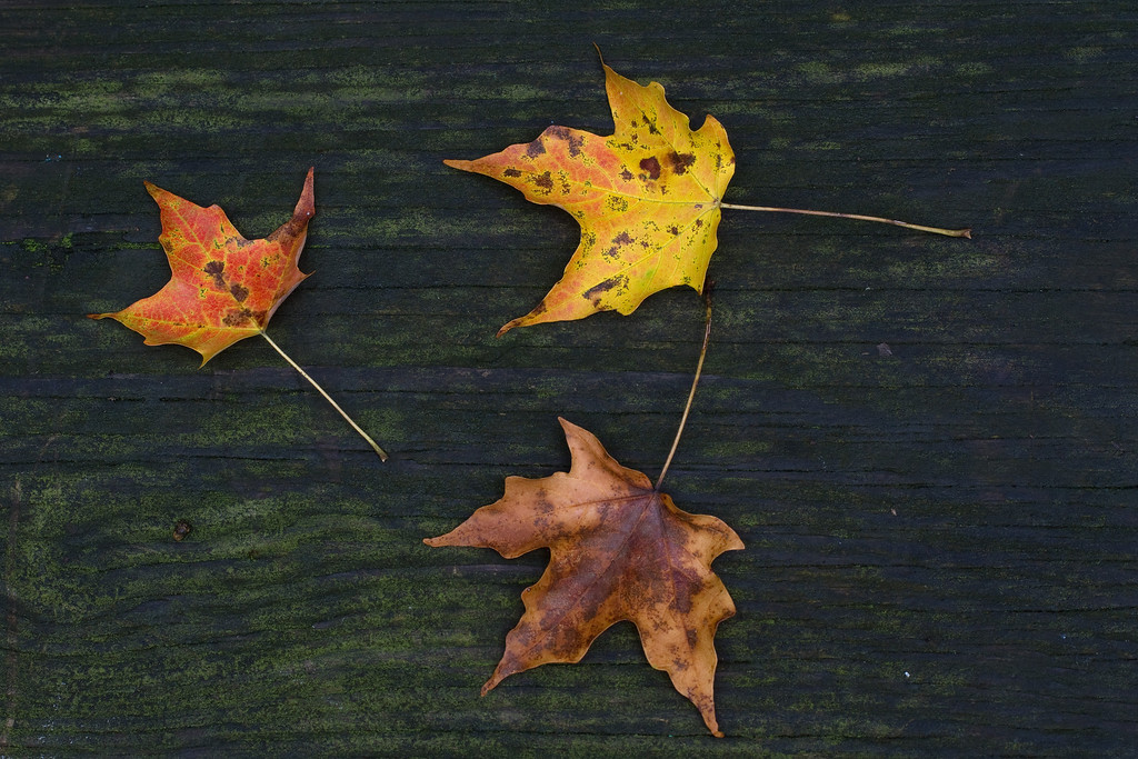 These three leaves were lying on the seat of a picnic table.