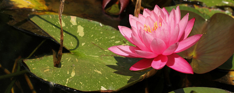 """A Lilly in full blossom<br /> Sized for both 20x8"""" and 30x10"""" Panoramic Portrait."""