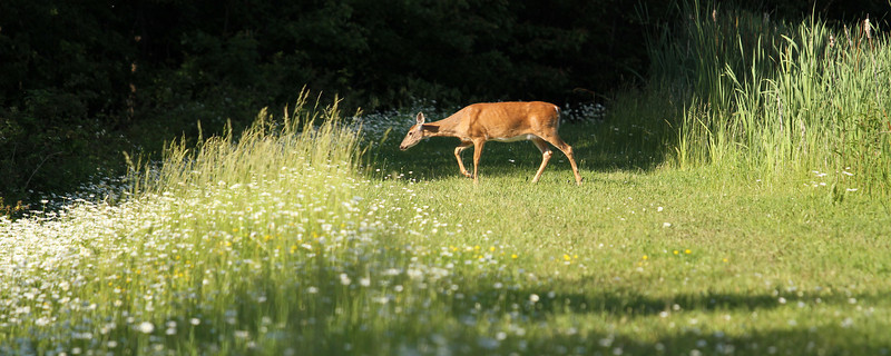 """A deer enjoys an early morning grazing.<br /> Sized for both 20x8"""" and 30x10"""" Panoramic Portrait."""