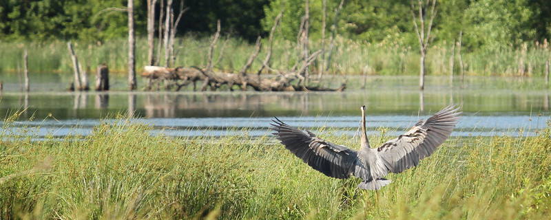 """A Great Blue Heron spreads it's wings<br /> Sized for both 20x8"""" and 30x10"""" Panoramic Portrait."""