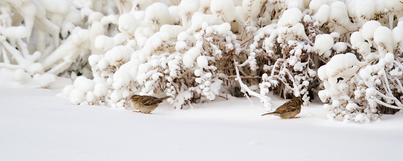 """Two sparrows coming out of their hiding place after a large ice storm in Northern Ohio.<br /> Sized for both 20x8"""" and 30x10"""" Panoramic Portrait."""