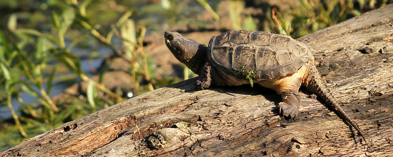 """A Snapping Turtle soaks in some Summer Rays<br /> Sized for both 20x8"""" and 30x10"""" Panoramic Portrait."""