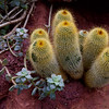 Desert cucumbers