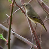 Some type of Vireo<br /> Lens: Canon 70-200 F4L IS with Canon 1.4x Mark II extender