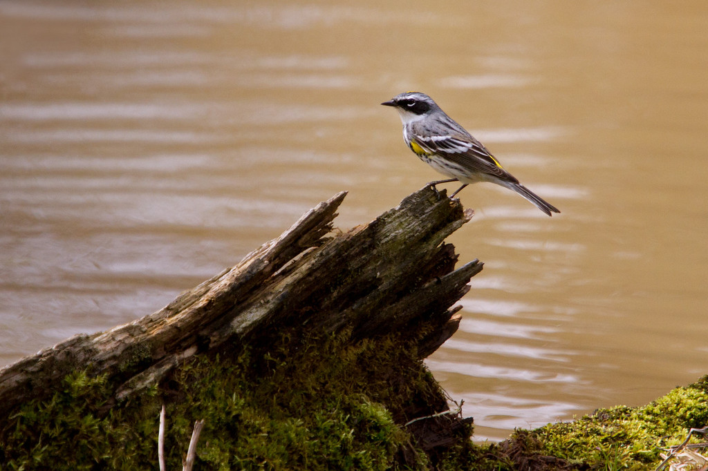 Yellow-rumped Warbler<br /> Lens: Canon 70-200 F4L IS with Canon 1.4x Mark II extender