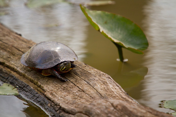 A painted turtle basking in the sun<br /> Lens: Canon 70-200 F4L IS with Canon 1.4x Mark II extender