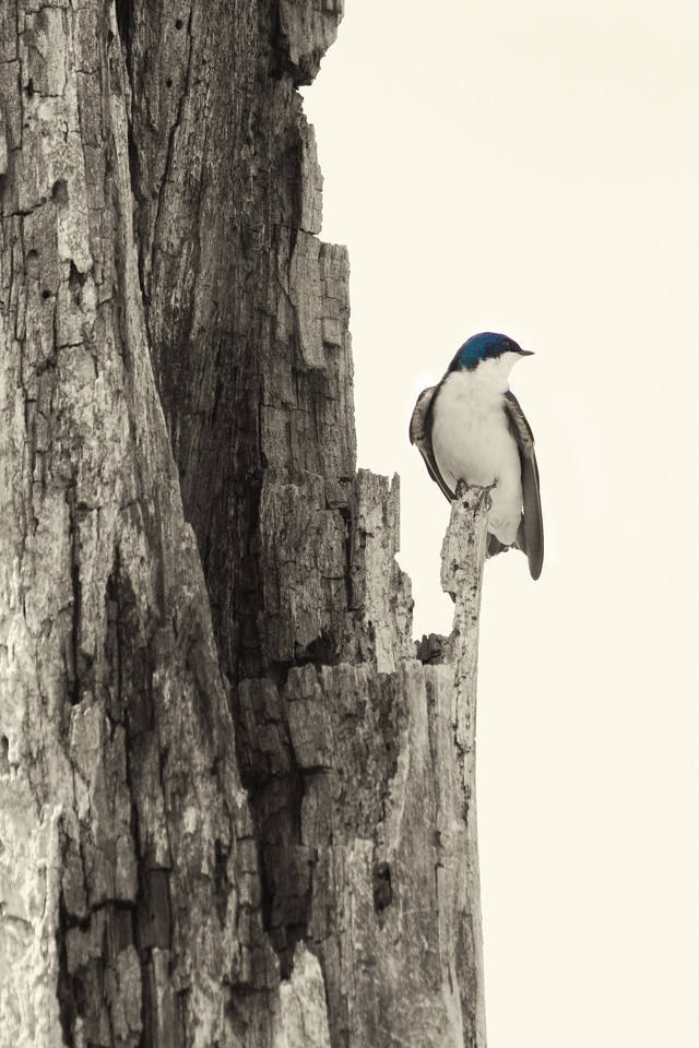 Tree Swallow<br /> Lens: Canon 70-200 F4L IS with Canon 1.4x Mark II extender