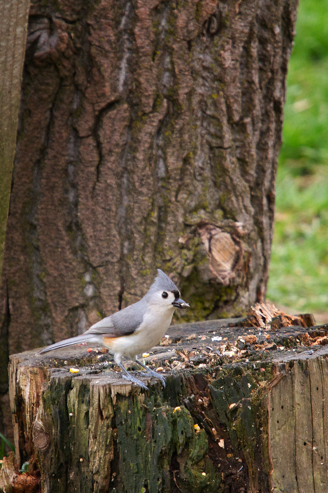 Tufted Titmouse<br /> Lens: Canon 70-200 F4L IS with Canon 1.4x Mark II extender