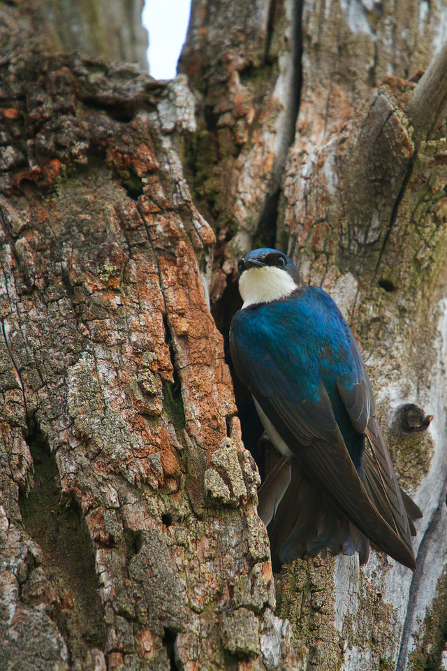 Tree Swallow feed it's young<br /> Lens: Canon 70-200 F4L IS with Canon 1.4x Mark II extender