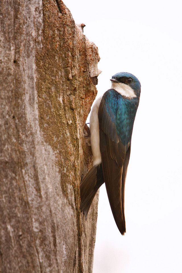 Tree Swallow feeding it's young<br /> Lens: Canon 70-200 F4L IS with Canon 1.4x Mark II extender