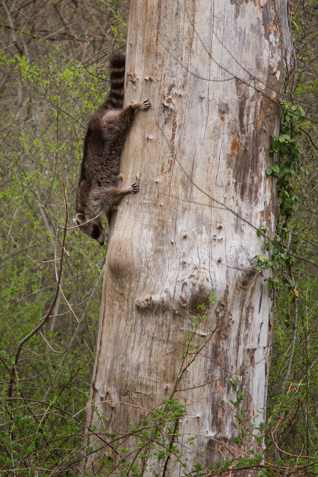 A young raccoon descending from it's den at the top of the tree.<br /> Lens: Canon 70-200 F4L IS with Canon 1.4x Mark II extender