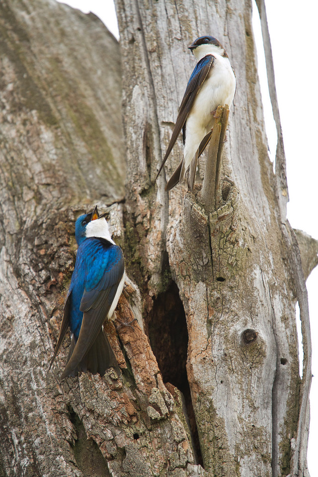 Two parents (tree swallows) outside of their nest<br /> Lens: Canon 70-200 F4L IS with Canon 1.4x Mark II extender