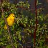 Yellow Warbler chirping