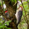A female Red-bellied Woodpecker