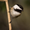A Black-capped Chickadee perches on a small branch about 12 feet from where I was standing.