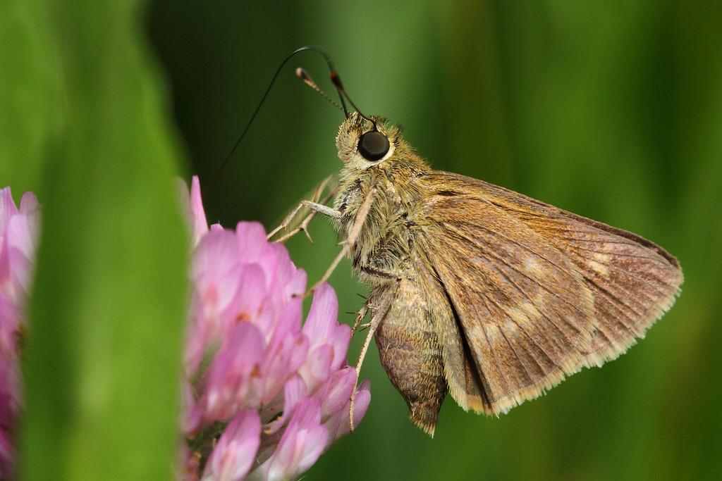 European Skipper butterfly; slideshow2015