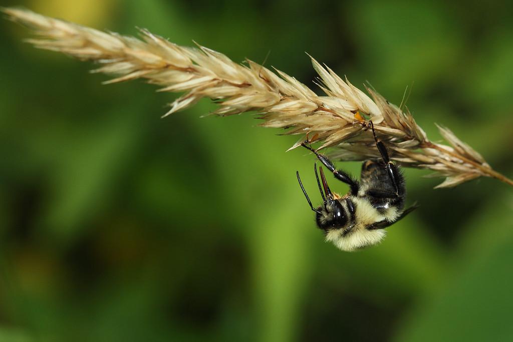 Bumblebee taking a break