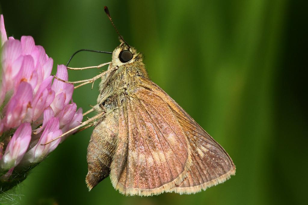 European Skipper butterfly