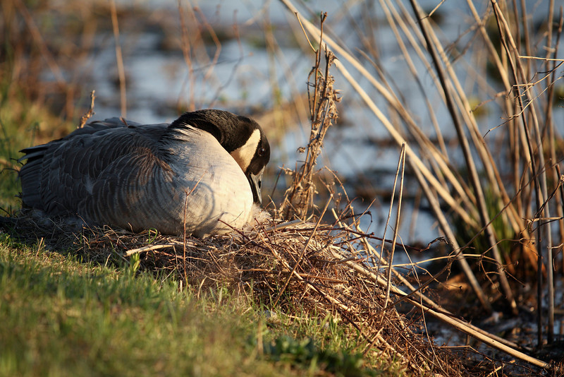 A Mother goose caring for her eggs