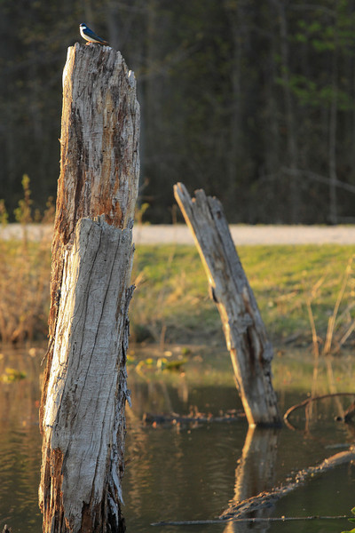 A tree swallow resting on top of a dead tree
