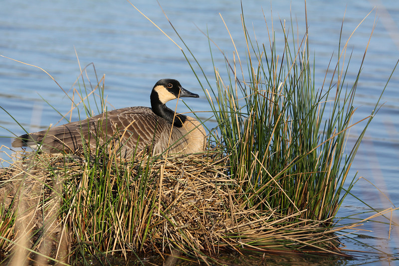 Mother goose keeping her eggs warm