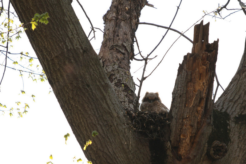 A young big horned owl waiting for dinner.